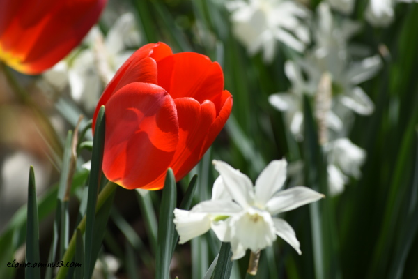 red tulip and white daffodils
