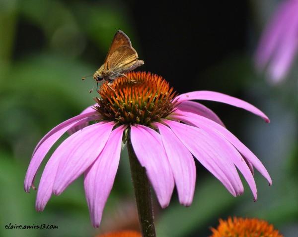 Little Skipper Butterfly
