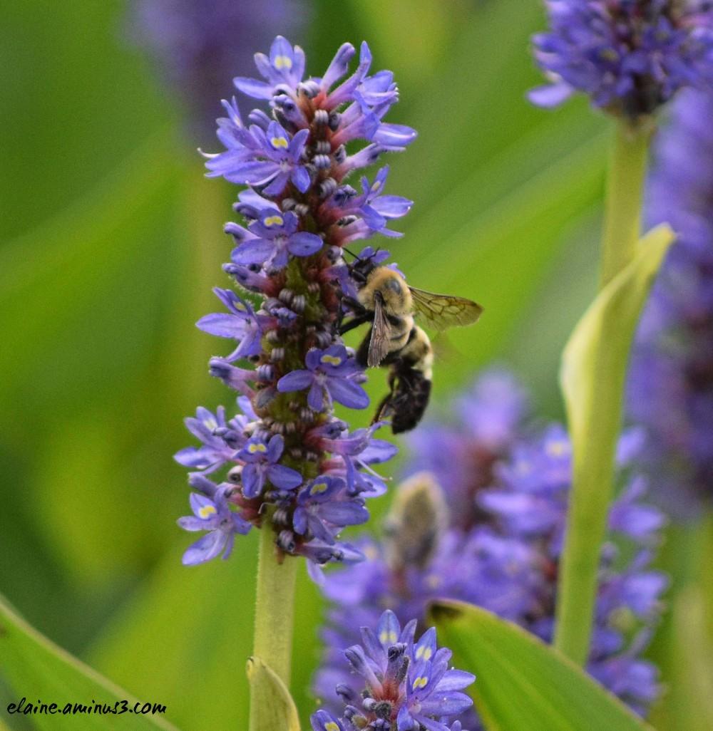 bee and pickerel rush