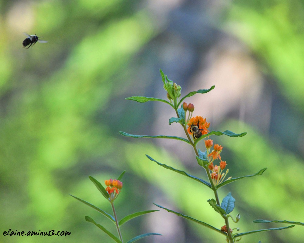bee and butterfly weed
