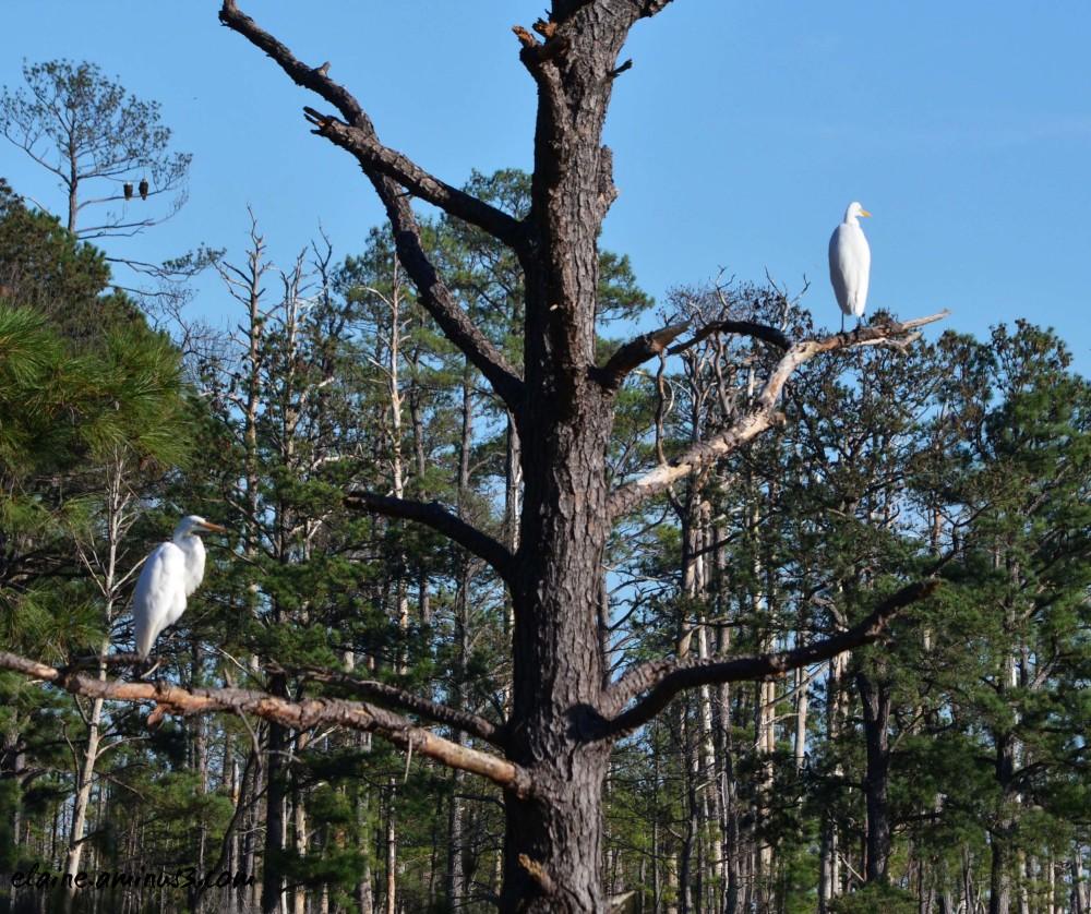 Egrets and Eagles