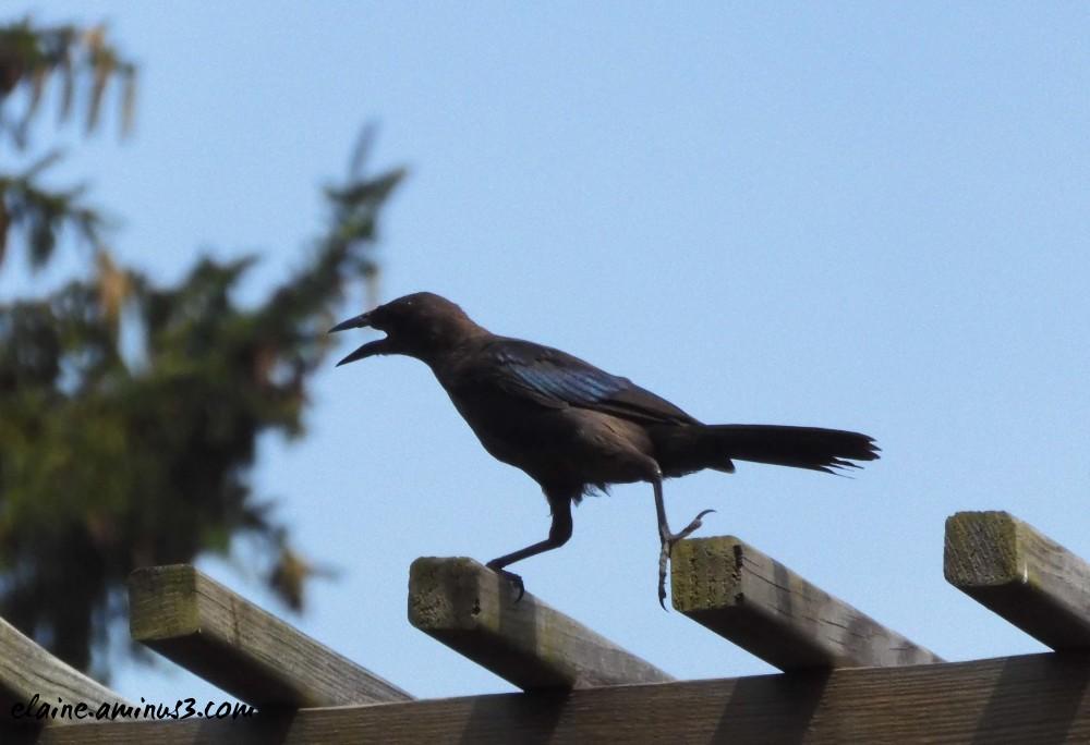 walking blackbird