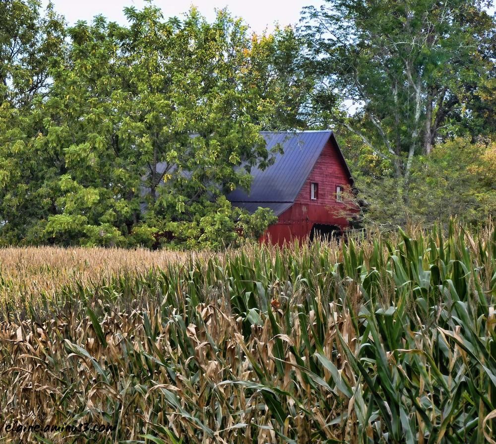 barn and cornfield