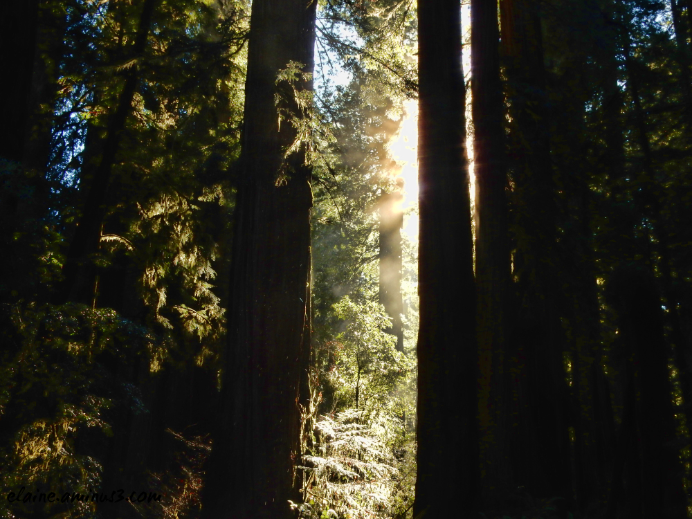 redwood trees and sun