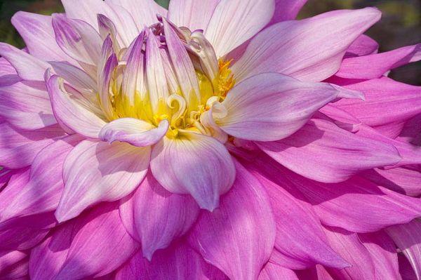 Pink Dahlia Flounces