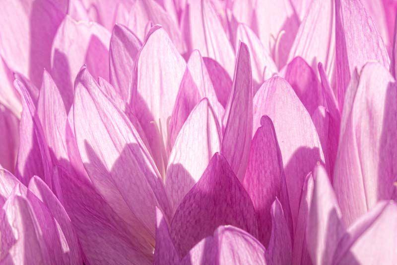Pink Autumn Crocus in the Sun