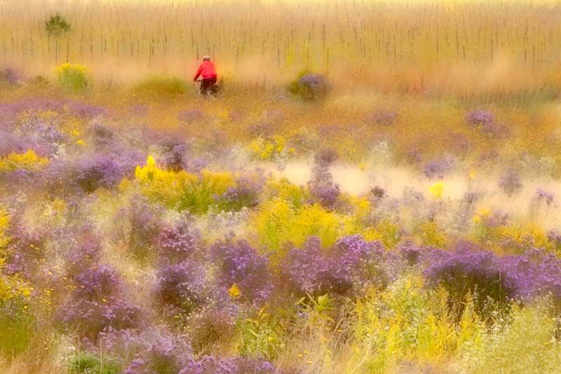 Niagara's purple and yellow field of flowers with