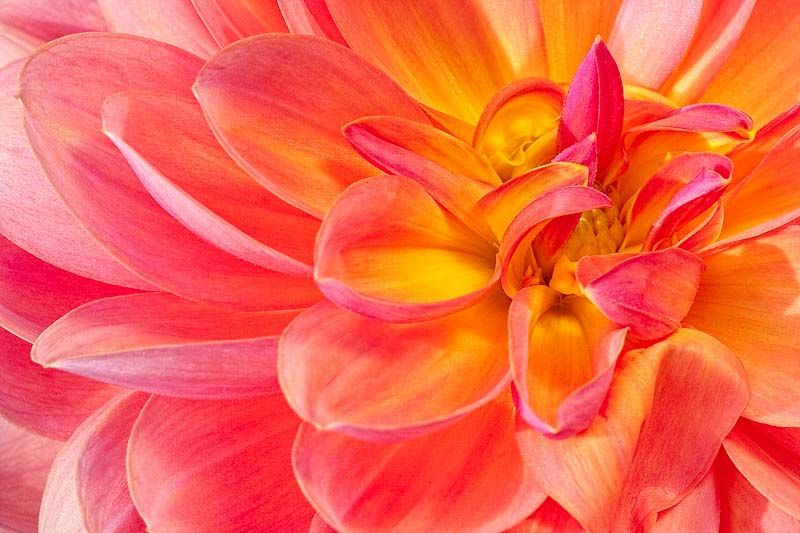morning light pink yellow close-up of dahlia