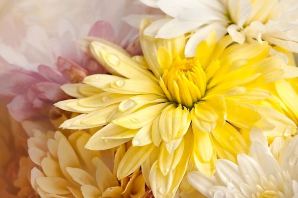 bright soft chrysanthemums pink white dew
