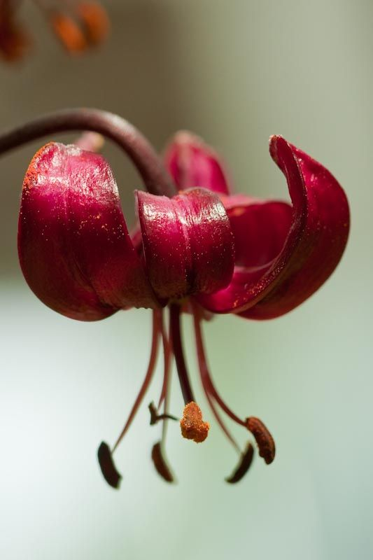 martagon lily close-up red