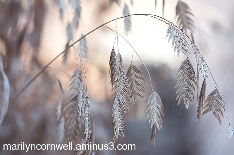 Canada's Winter Silver and Gold Grasses Light