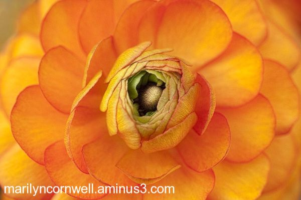 orange ranunculus petals and centre
