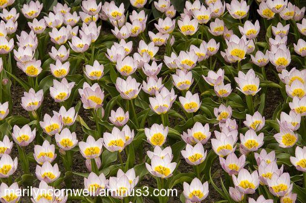 tulips full-frame