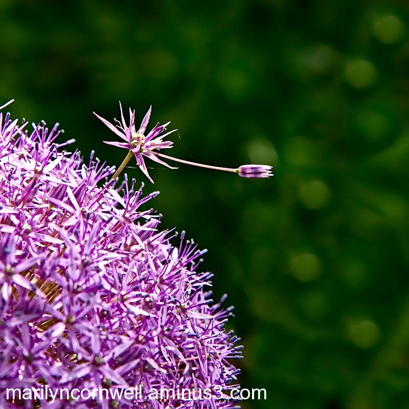 allium on top of world