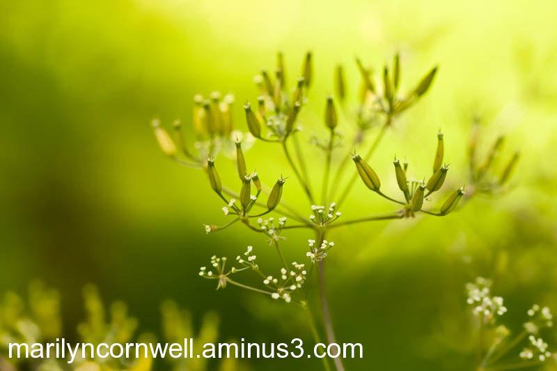 yellow green seeds angelica