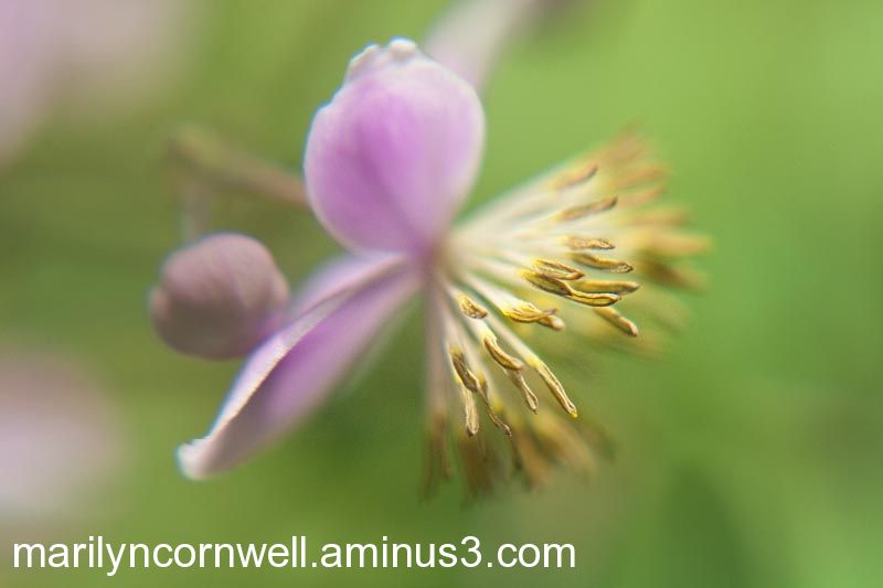 Purple flower thalictrum in morning light