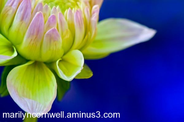 water lily dahlia pink green with blue