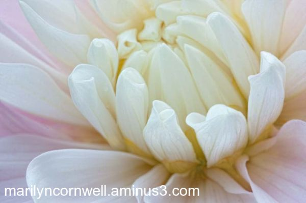 Explorations in Pastel dahlia macro abstract