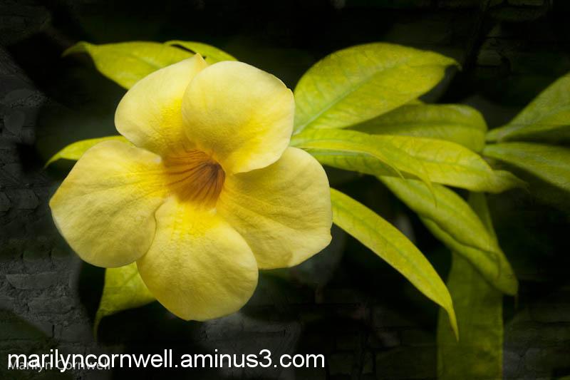 Sunshine yellow Allamanda floral flowerography