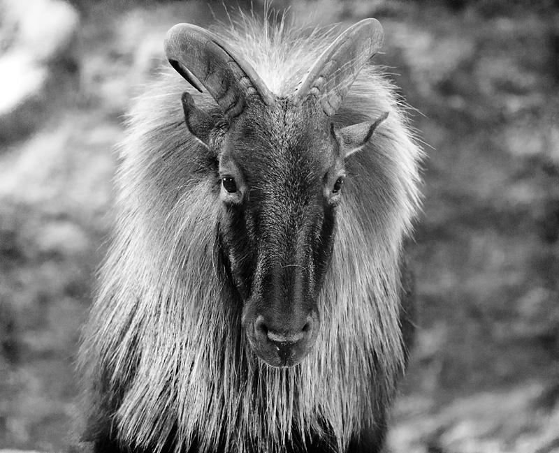 Goat Hagenbeck Tierpark