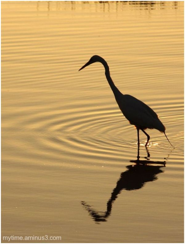 Great White Herron at sunset