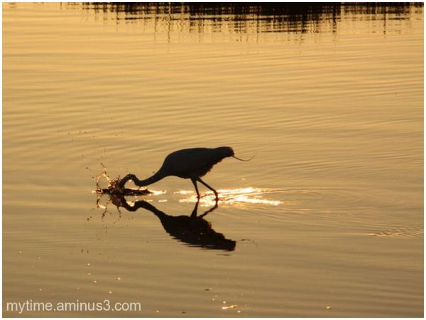 Great White Herron at sunset
