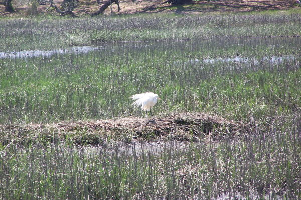 Egret Ruffling Feathers