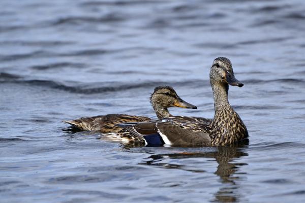 Duck Series