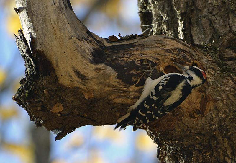 Woodpecker series