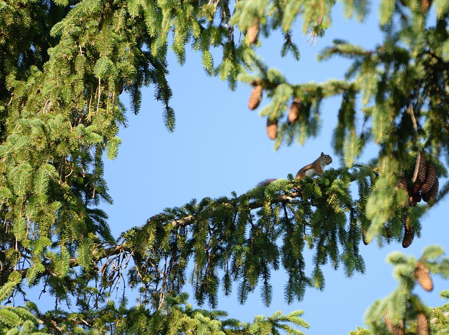 Chipmunk Harvesting Pine Cones 50 feet up