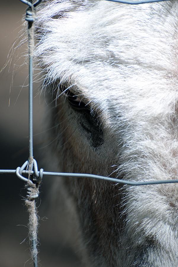 Donkey Eye