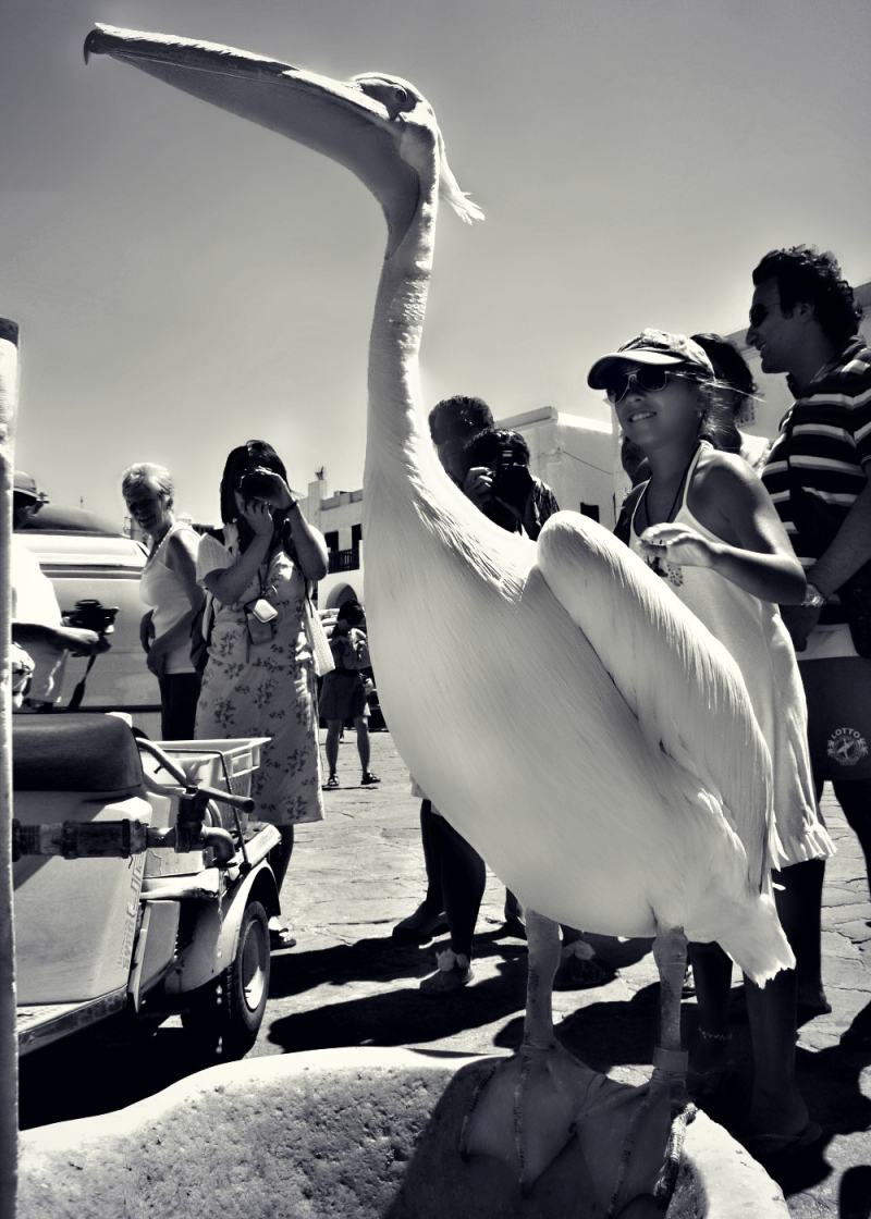 animal, bird, monochrome, mykonos