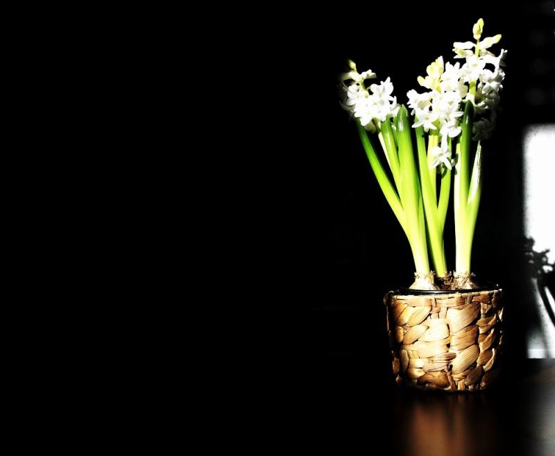 Hyacintus 1/2