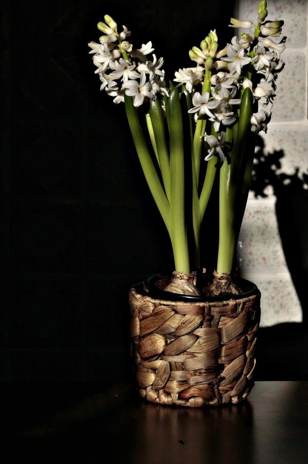 Hyacintus 2/2