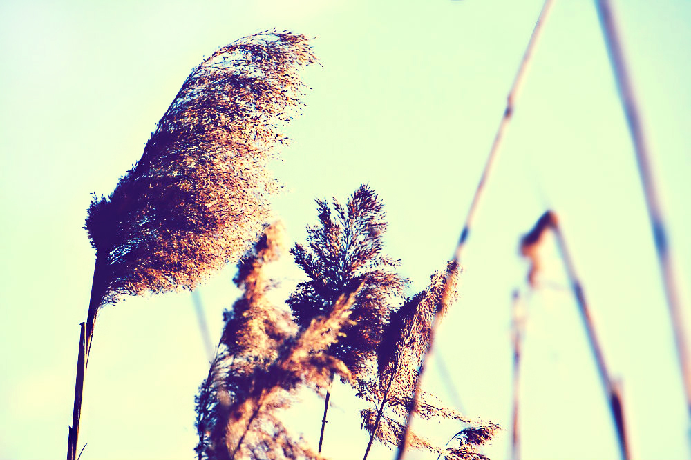 Reeds in the wind 1/4