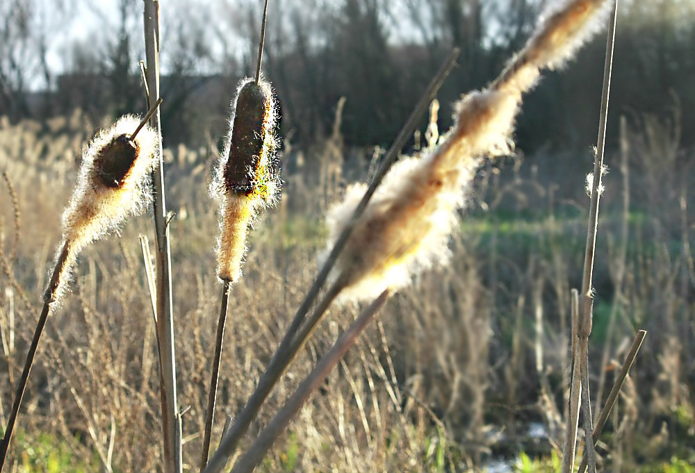 Reeds in the wind 3/4