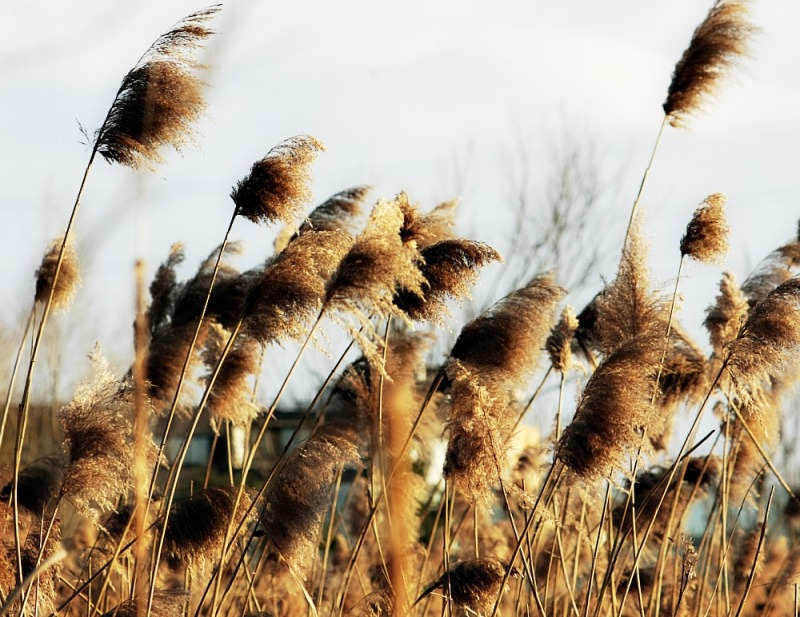 Reeds in the wind 4/4