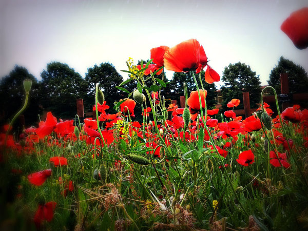 poppies, flowers, red