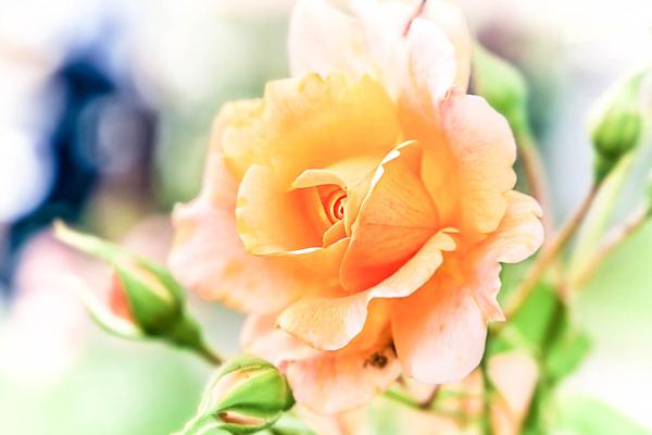 Rosa rosae rosam...