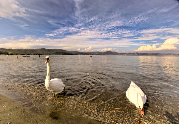 The curious swans