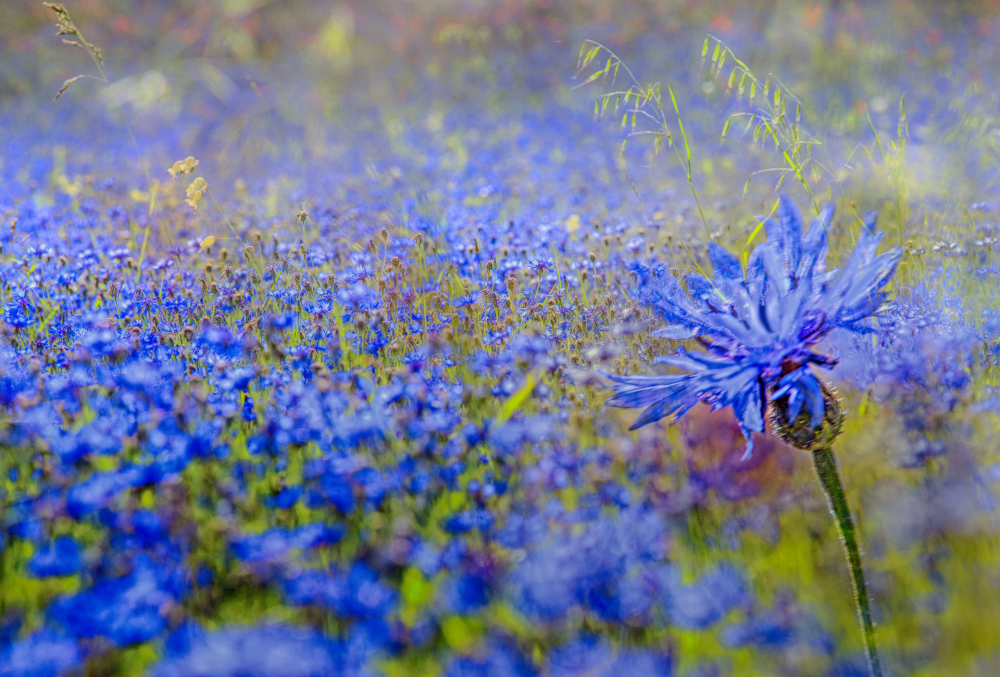 ...blue lentil