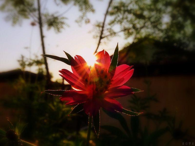 'Sun'flower