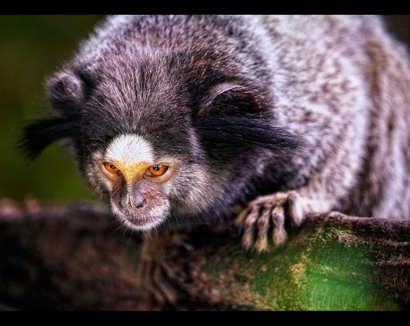 Pygmy Marmoset (Bad hair day)