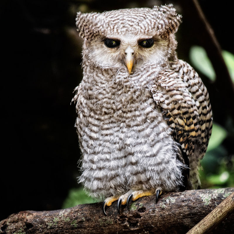 Owl (need ID)