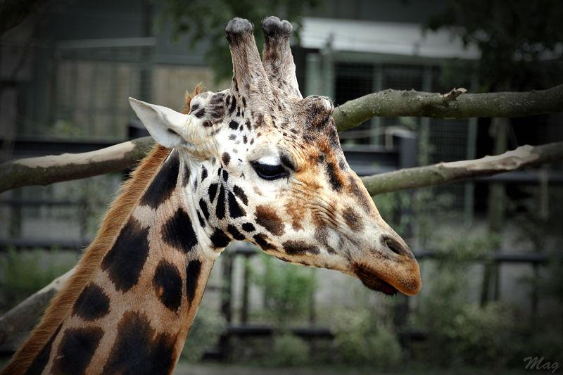 Giraffe du zoo de Dublin