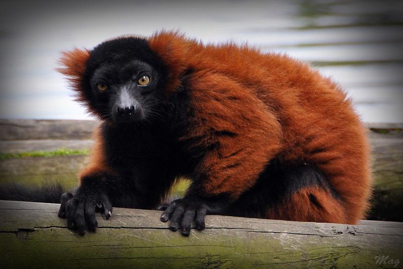 Lemurien roux du zoo de Dublin