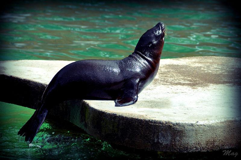 Une jeune otarie du zoo de Dublin