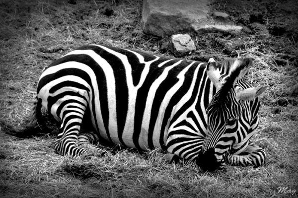 Un zebre du zoo de Dublin