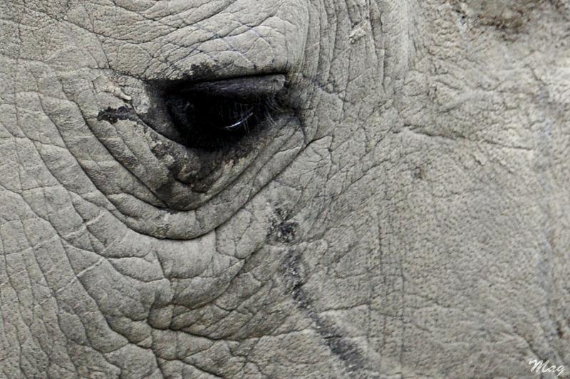 Un oeil de rhino, zoo de Dublin