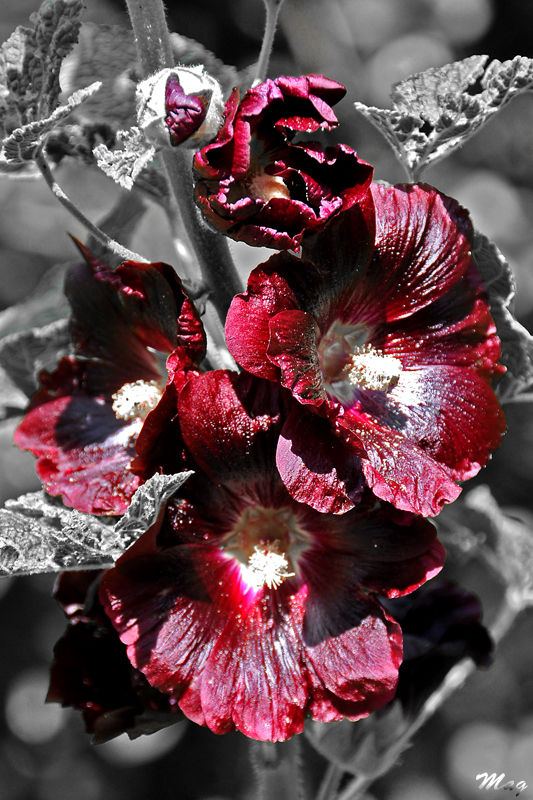 Une rose Tremiere bordeau.